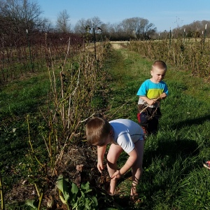 Little Boys Helping to Prepare the Blackberries before being hit by blackberry winter.