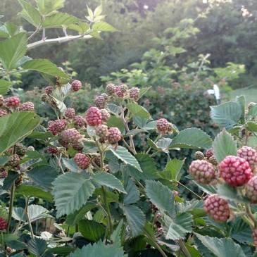 Blackberry Season in North Georgia 2017