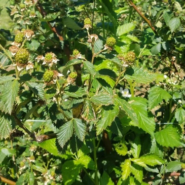 Blackberries setting on late but looking yummy