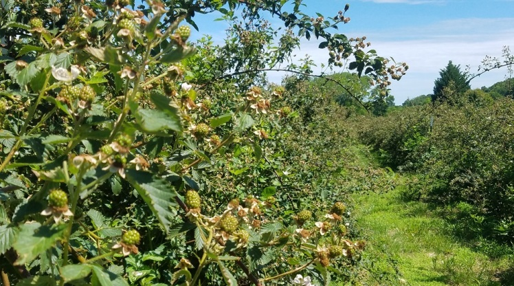 Ouachita Blackberries setting on late in 2018