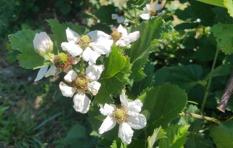 Triple Crown blackberries blooming late in May
