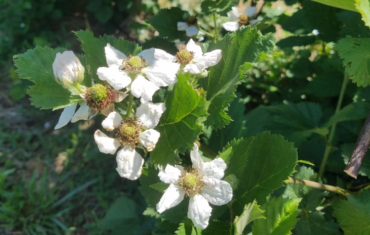 Triple Crown blackberries blooming late in May