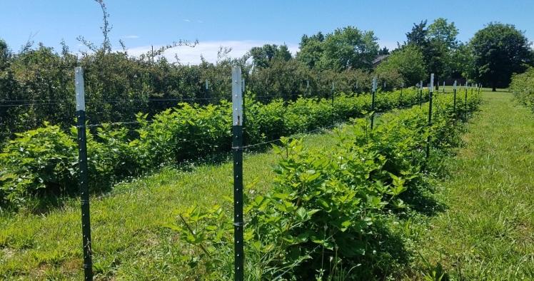 Arkansas Freedom Blackberries sending up new growth
