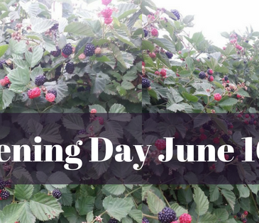First day of the 2018 Blackberry Season is June 16